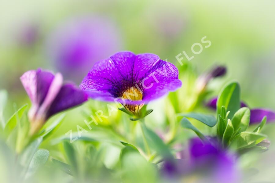 Minipetunie, Million Bells 'Sweetbells Dark Blue' - Calibrachoa hybrida 'Sweetbells Dark Blue'