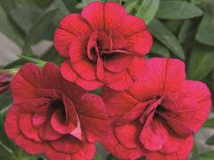 Minipetunie, Million Bells 'Aloha Double Cherry' - Calibrachoa hybrida 'Aloha Double Cherry'