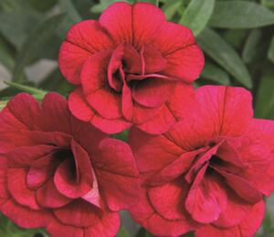 Minipetunie, Million Bells 'Aloha Double Cherry' - Calibrachoa hybrida 'Aloha Double Cherry'