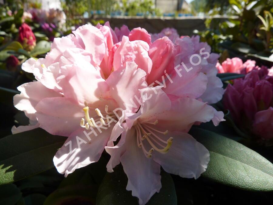 Pěnišník 'Dreamland' - Rhododendron (Y) 'Dreamland'