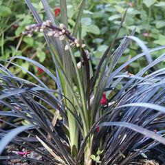 Sedoulek plochostvolý 'Nigrescens' - Ophiopogon planiscapus 'Nigrescens'
