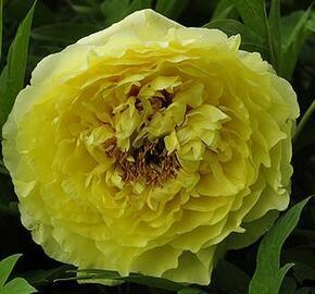 Pivoňka Itoh-hybrid 'Yellow Crown' - Paeonia Itoh-hybrid 'Yellow Crown'