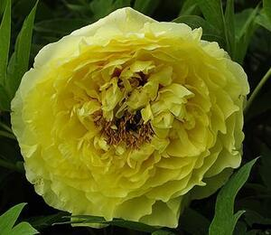 Pivoňka Itoh-hybrid 'Yellow Crown' - Paeonia Itoh-hybrid 'Yellow Crown'