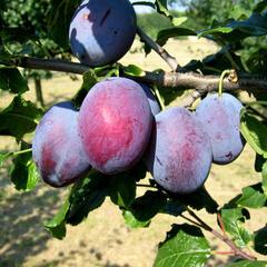 Pološvestka - velmi raná 'Čačanská raná' - Prunus domestica 'Čačanská raná'