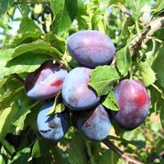 Švestka - pozdní 'Bystrická' - Prunus domestica 'Bystrická'