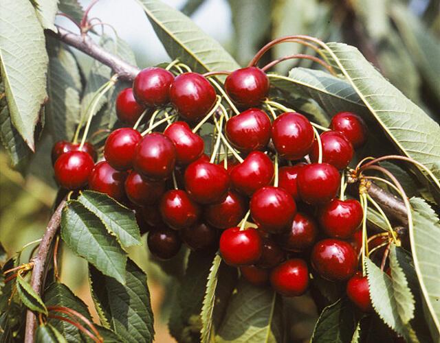Třešeň středně raná - chrupka 'Granát' - Prunus avium 'Granát'