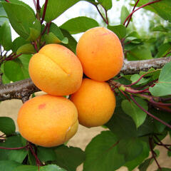 Meruňka - pozdní 'Leala' - Prunus armeniaca 'Leala'