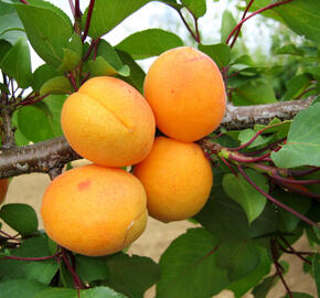 Meruňka pozdní 'Leala' - Prunus armeniaca 'Leala'