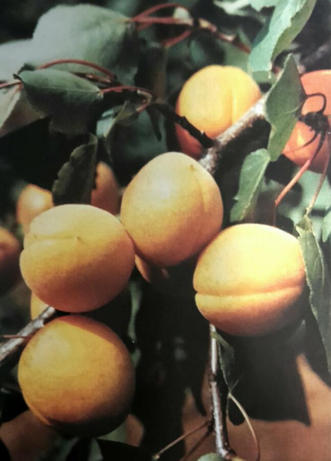 Meruňka 'Velbora' - Prunus armeniaca 'Velbora'