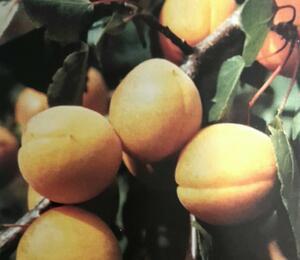 Meruňka středně raná 'Velita' - Prunus armeniaca 'Velbora'