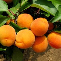 Meruňka - středně raná 'Lerosa' - Prunus armeniaca 'Lerosa'