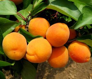 Meruňka středně raná 'Lerosa' - Prunus armeniaca 'Lerosa'