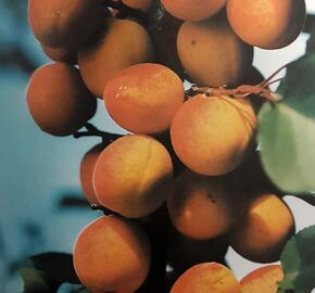 Meruňka raná 'Lejuna' - Prunus armeniaca 'Lejuna'