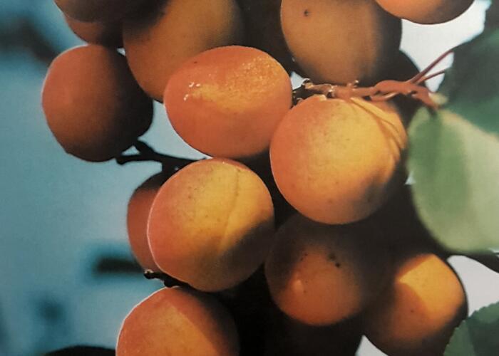 Meruňka - raná 'Lejuna' - Prunus armeniaca 'Lejuna'