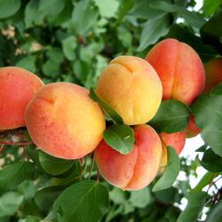 Meruňka - středně raná 'Marlen' - Prunus armeniaca 'Marlen'