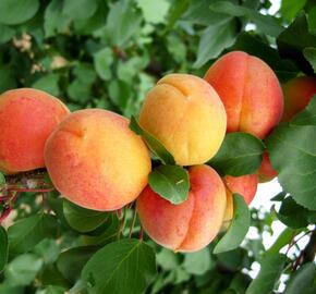 Meruňka středně raná 'Marlen' - Prunus armeniaca 'Marlen'