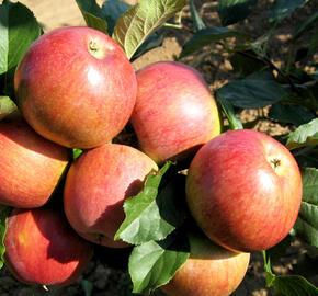 Jabloň zimní 'Rubimeg' - Malus domestica 'Rubimeg'