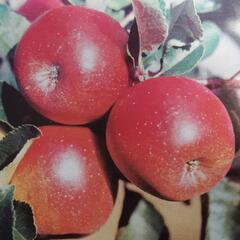 Jabloň zimní 'Jarka' - Malus domestica 'Jarka'