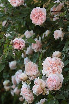 Růže pnoucí 'Souvenir de la Malmaison' - Rosa PN 'Souvenir de la Malmaison'