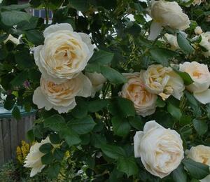 Růže pnoucí Tantau 'Uetersen Klosterrose' - Rosa PN 'Uetersen Klosterrose'