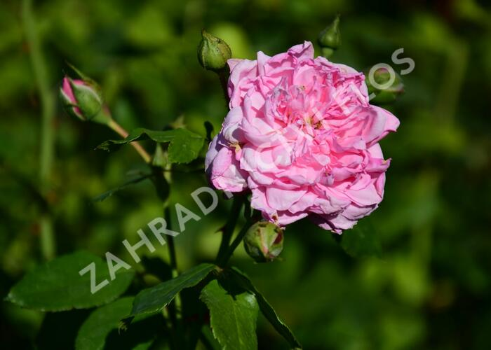 Růže pnoucí Kordes 'Sweet Laguna' - Rosa PN 'Sweet Laguna'