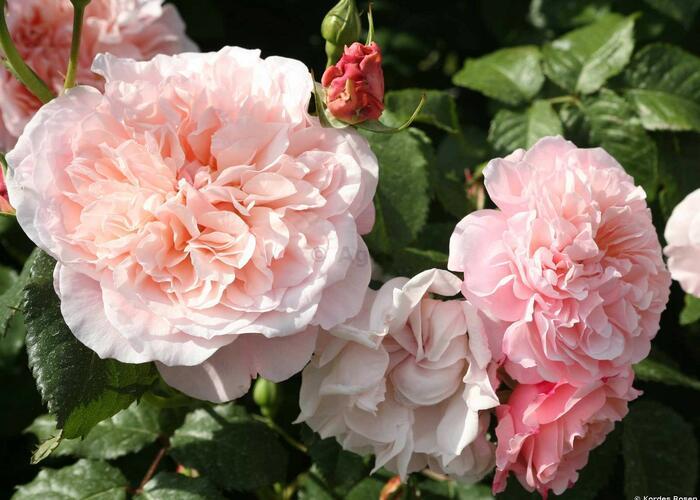 Růže pnoucí Kordes 'Rose de Tolbiac' - Rosa PN 'Rose de Tolbiac'