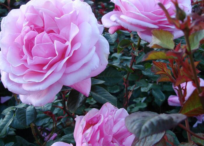 Růže pnoucí 'Our Last Summer' - Rosa PN 'Our Last Summer'