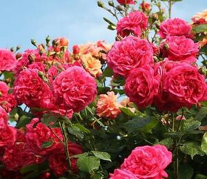 Růže pnoucí Kordes 'Laguna' - Rosa PN 'Laguna'