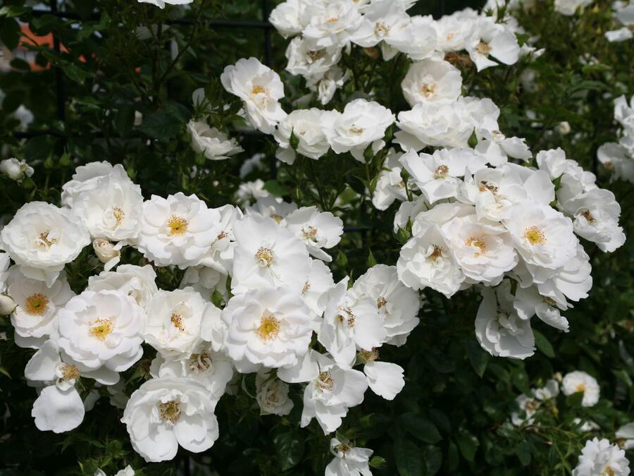 Růže pnoucí 'Hella' - Rosa PN 'Hella'