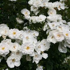 Růže pnoucí Kordes 'Hella' - Rosa PN 'Hella'