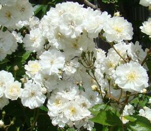 Růže pnoucí 'Guirlande d'Amour' - Rosa PN 'Guirlande d'Amour'