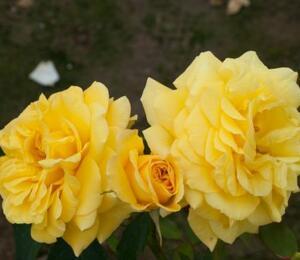 Růže pnoucí 'Goldstern' - Rosa PN 'Goldstern'