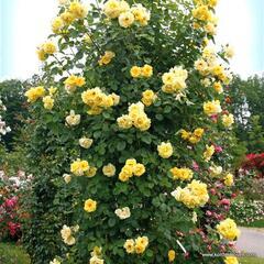 Růže pnoucí Kordes 'Golden Gate' - Rosa PN 'Golden Gate'