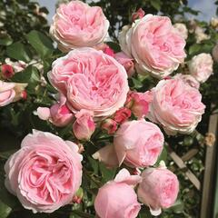 Růže pnoucí Tantau 'Giardina' - Rosa PN 'Giardina'
