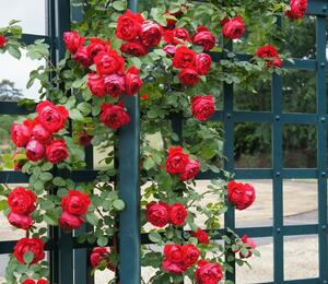 Růže pnoucí Kordes 'Florentina' - Rosa PN 'Florentina'