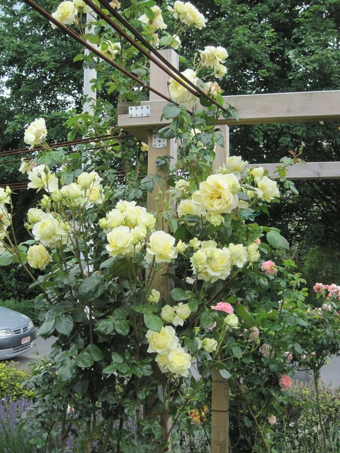 Růže pnoucí Tantau 'Climbing Elfe' - Rosa PN 'Climbing Elfe'