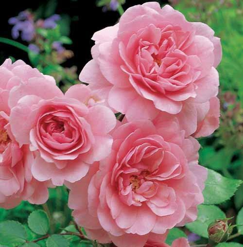 Růže pnoucí 'Climbing Bonica' - Rosa PN 'Climbing Bonica'