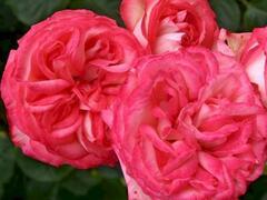 Růže pnoucí Kordes 'Antike 89' - Rosa PN 'Antike 89'