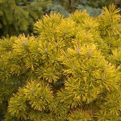 Borovice kleč 'Wintergold' - Pinus mugo 'Wintergold'