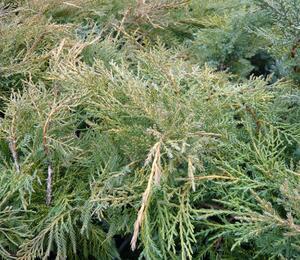 Jalovec prostřední 'Pfitzeriana Aurea' - Juniperus media 'Pfitzeriana Aurea'