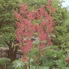 Reveň dlanitá - Rheum palmatum var. tanguticum
