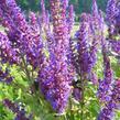 Šalvěj nádherná 'Bordeau Deep Blue' - Salvia superba 'Bordeau Deep Blue'