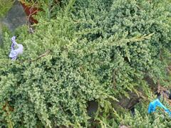 Jalovec položený 'Nana' - Juniperus procumbens 'Nana'