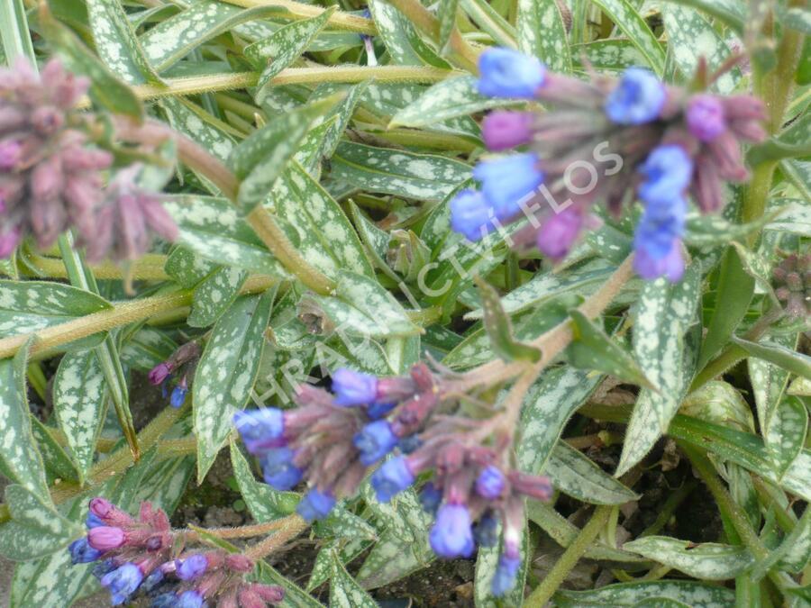 Plicník 'E.B. Anderson' - Pulmonaria longifolia 'E.B. Anderson'