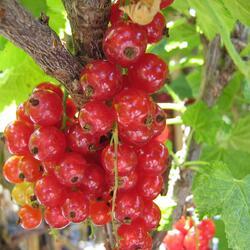 Rybíz červený 'Stanca' - Ribes rubrum 'Stanca'