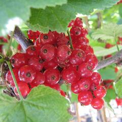 Rybíz červený 'Kozolupský raný' - Ribes rubrum 'Kozolupský raný'