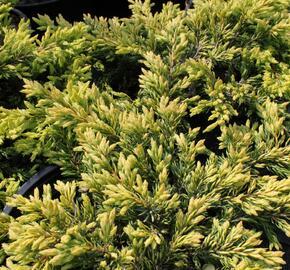 Jalovec obecný 'Goldschatz' - Juniperus communis 'Goldschatz'