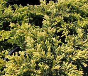 Jalovec obecný 'Goldschatz' - Juniperus communis 'Goldschatz'