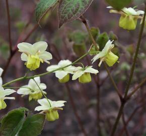 Škornice pestrobarevná 'Sulphureum' - Epimedium versicolor 'Sulphureum'