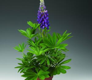 Lupina mnoholistá 'Camelot Blue' - Lupinus polyphyllus 'Camelot Blue'
